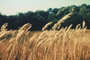 Crece como el trigo